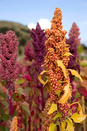 quinoa pink red brown colors
